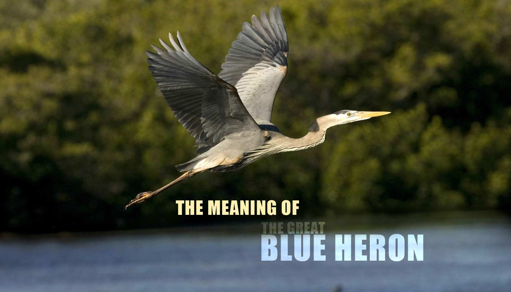 The meaning of the Great Blue Heron